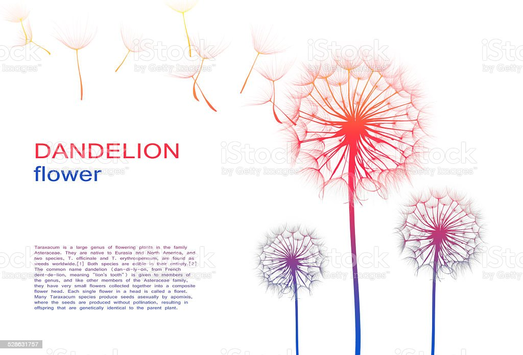 dandelion flower on a white background, silhouette stock photo