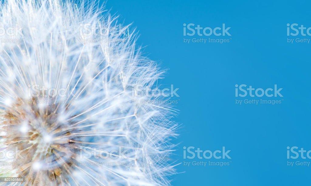 Dandelion Flower on Blue Sky Background stock photo
