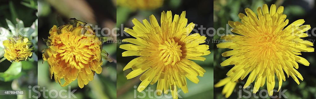 Closeup of yellow dandelion flower blooming outdoors. stock photo