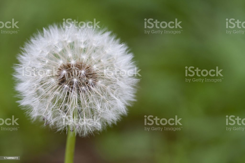 Dandelion flower royalty-free stock photo