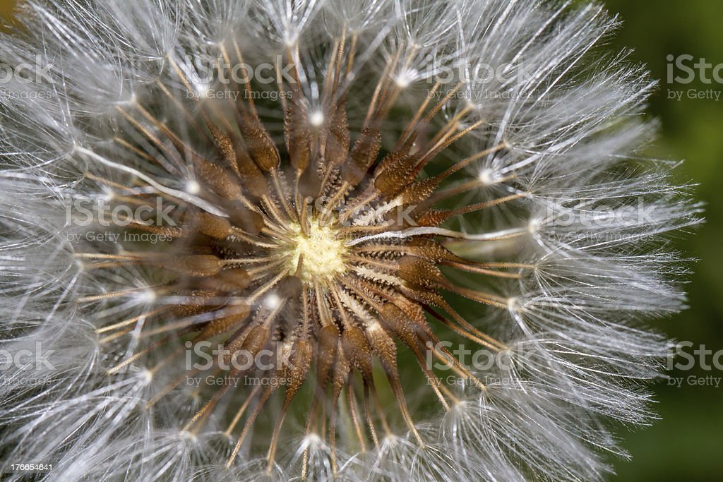 Dandelion (Taraxacum officinale) flower royalty-free stock photo