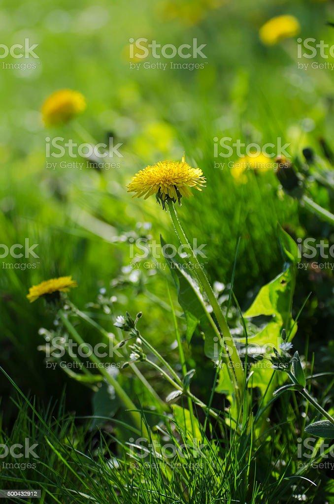 Dandelion flower stock photo