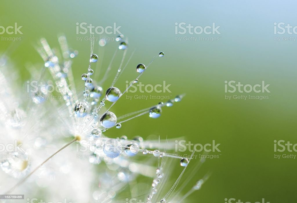 A dandelion flower seed drenched by the rain stock photo
