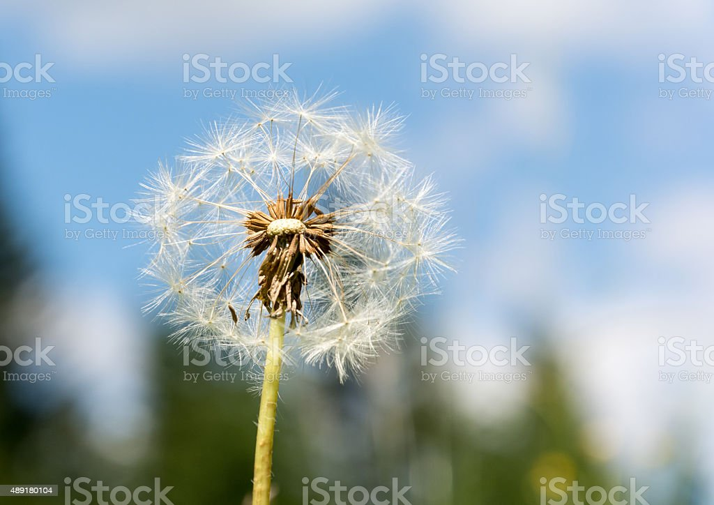 Dandelion flower started to loose seeds stock photo