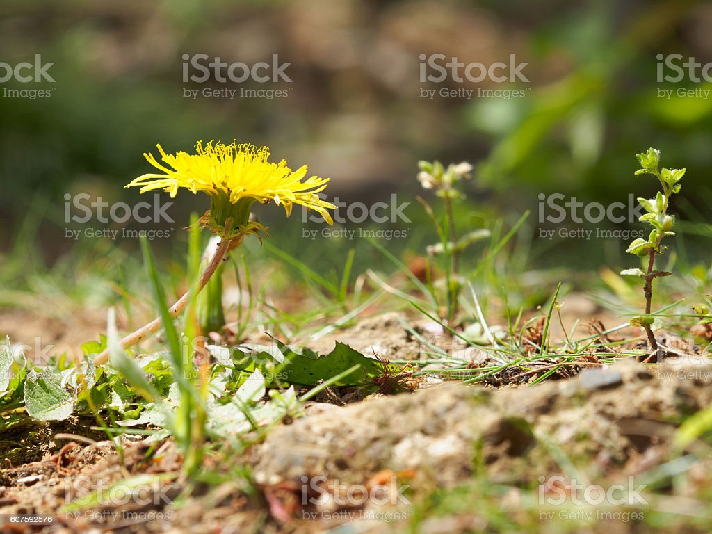Dandelion flowers and shoots us stock photo