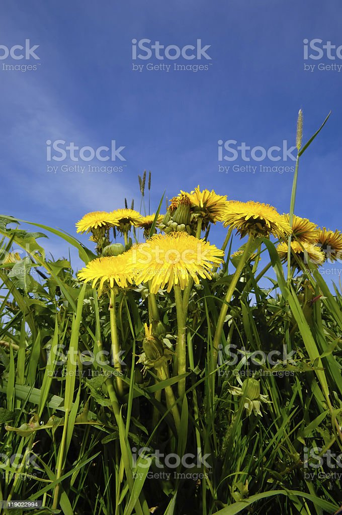 Dandelion flowers in nature stock photo