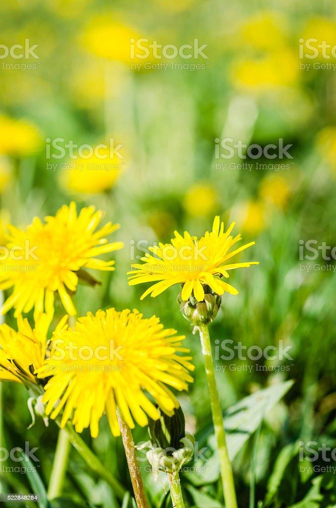 Dandelion Flowers Meadow stock photo