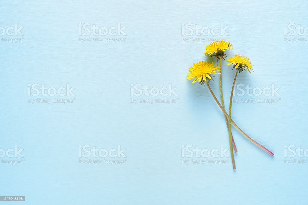 Dandelion flowers on blue table with copy-space stock photo