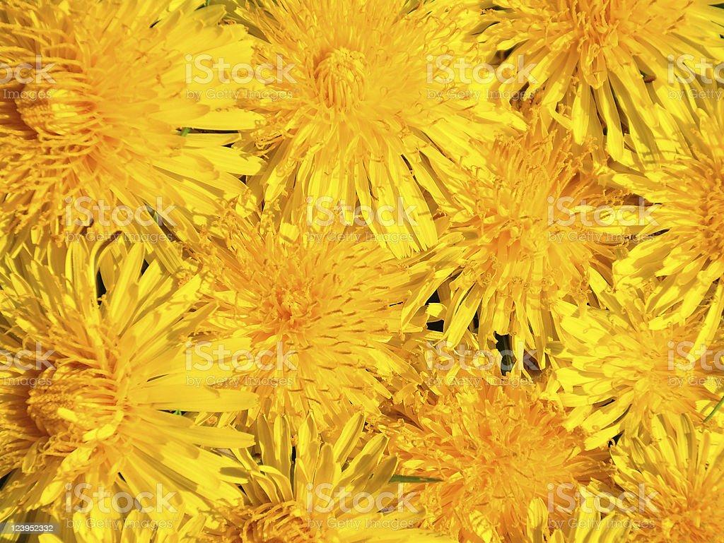 Dandelion flowers royalty-free stock photo