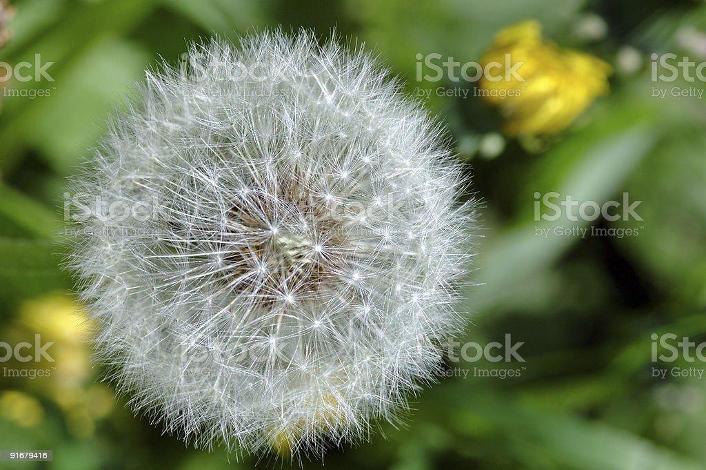Dandelion flowers stock photo