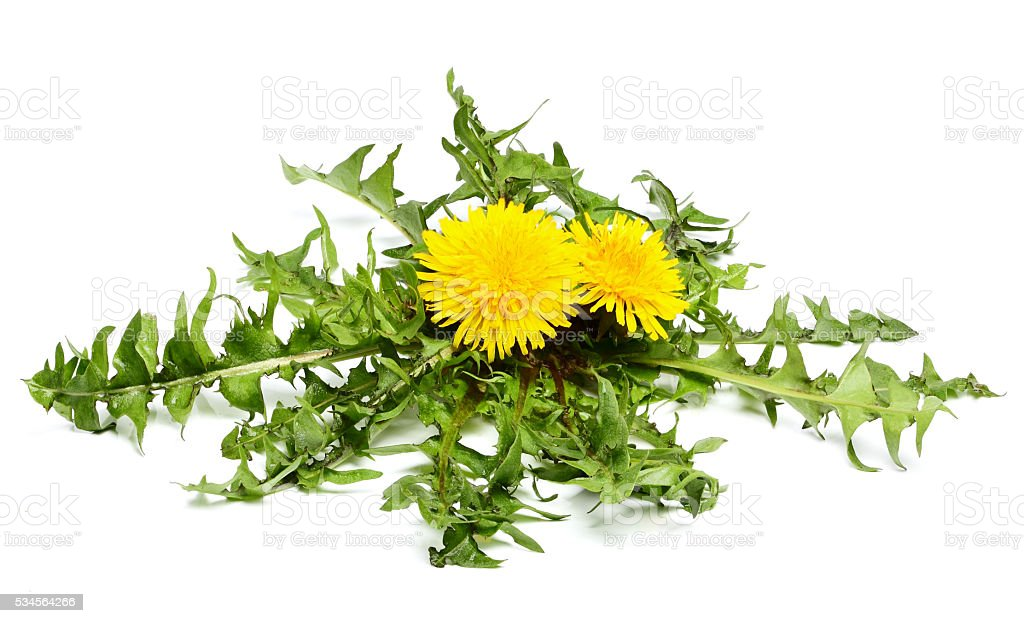 Dandelion flowers with leaves. stock photo