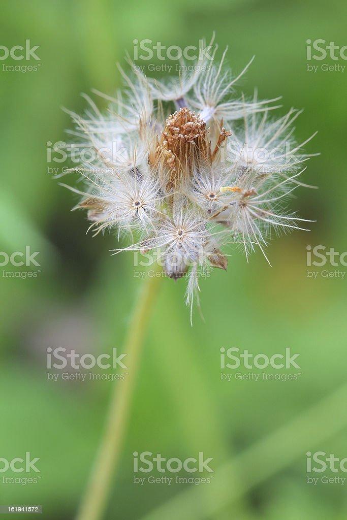 dandelion fluffy flower royalty-free stock photo