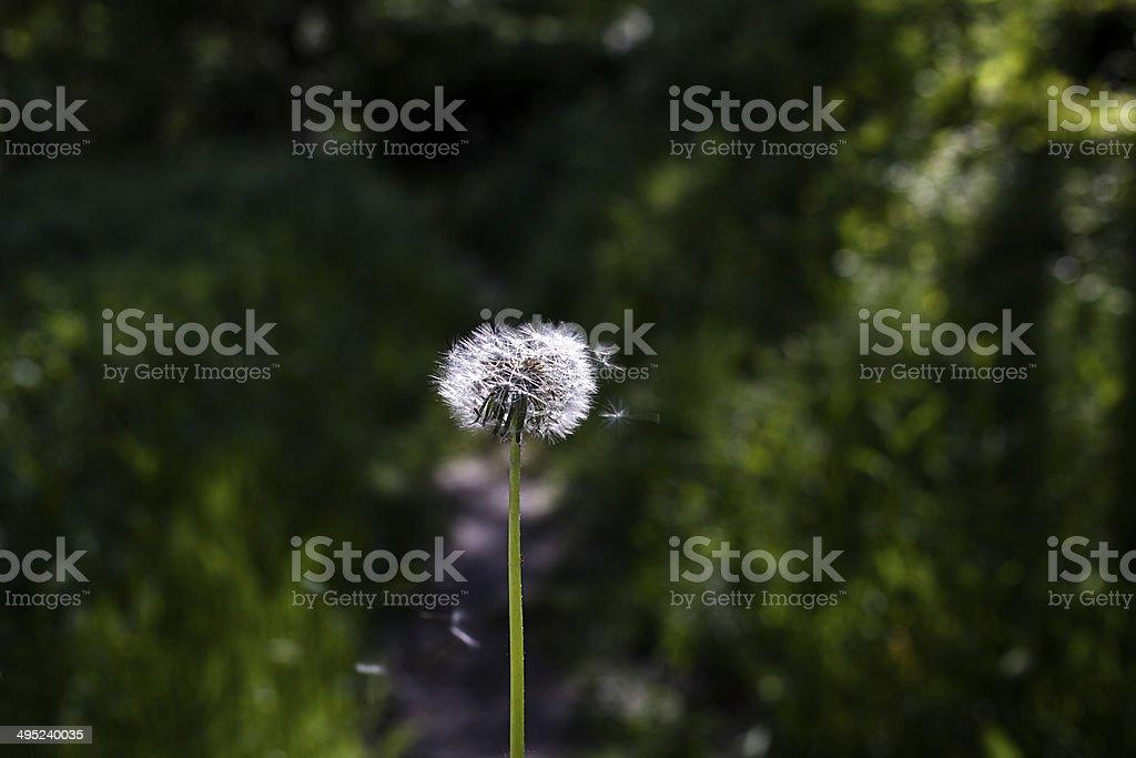 dandelion flying royalty-free stock photo