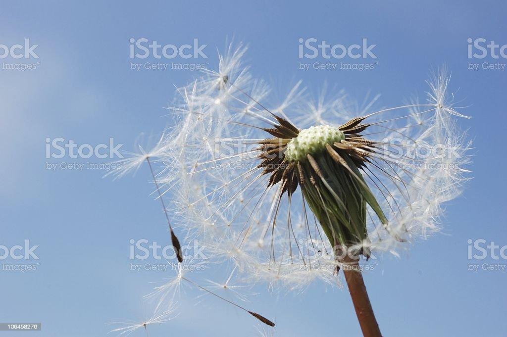 Dandelion frayed stock photo