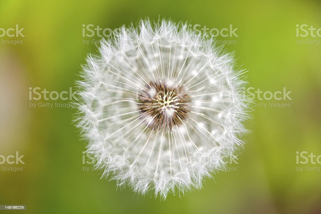 Dandelion from the top royalty-free stock photo