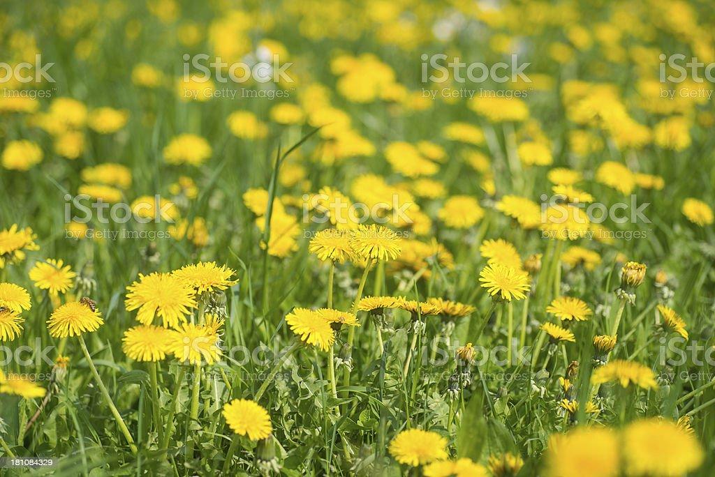 Dandelion - gelbes Blumenfeld stock photo