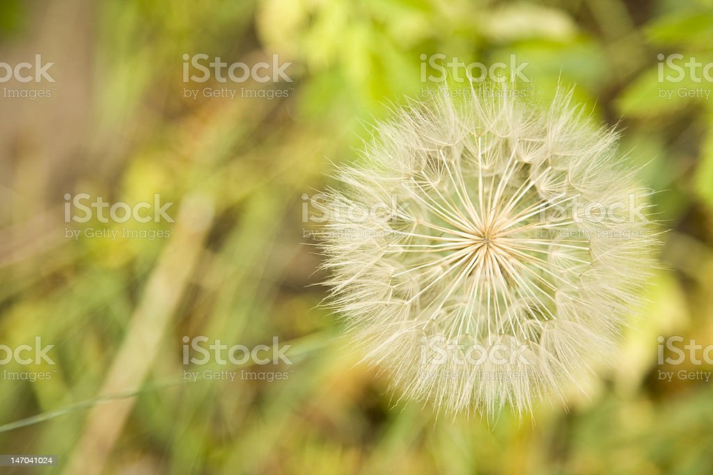 Dandelion Gone to Seed stock photo