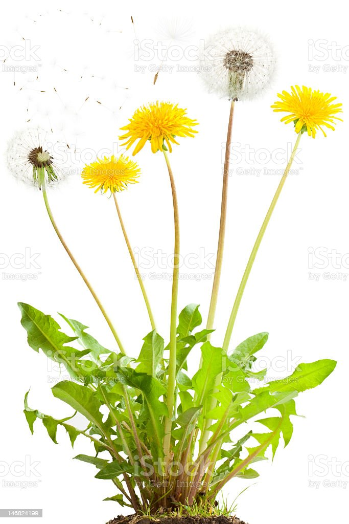 Dandelion growing tall on white background stock photo