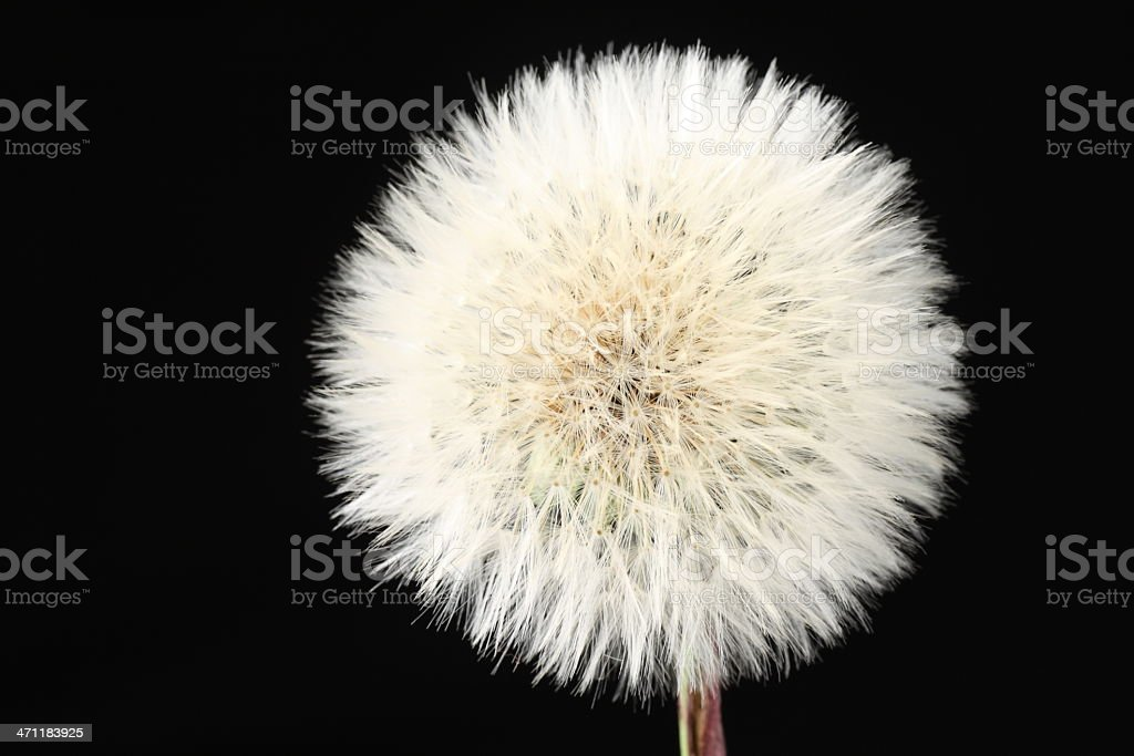 Dandelion head over black royalty-free stock photo