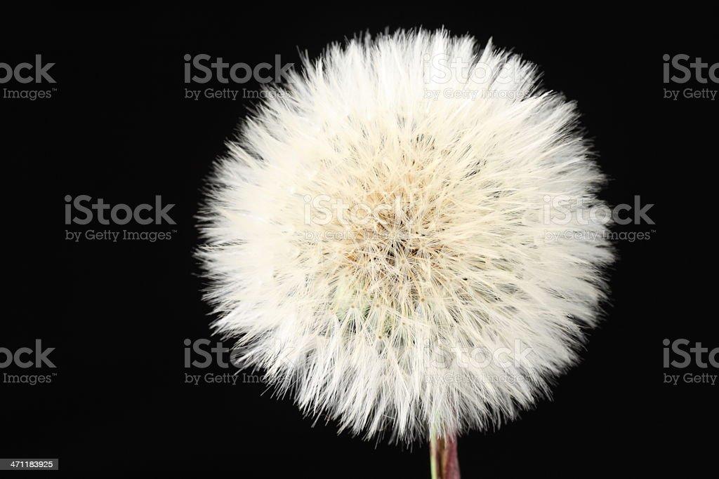 Dandelion head over black stock photo