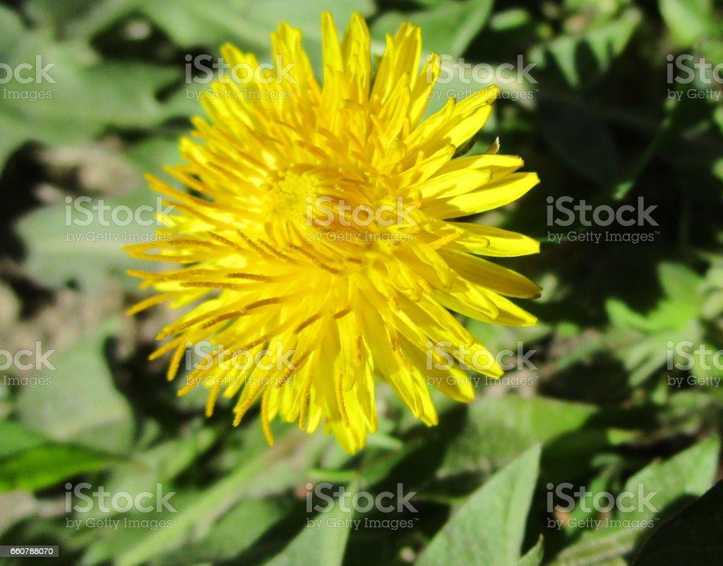 Dandelion, herald of spring stock photo