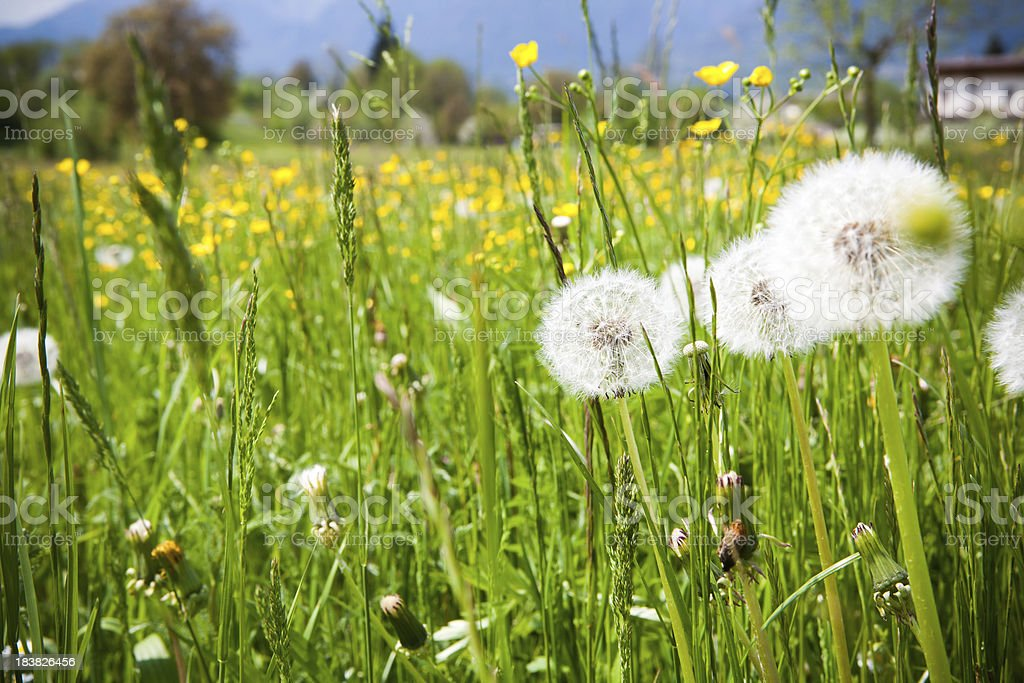 Dandelion in a green meadow royalty-free stock photo