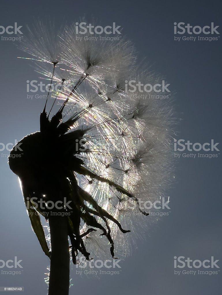 Dandelion in backlight royalty-free stock photo