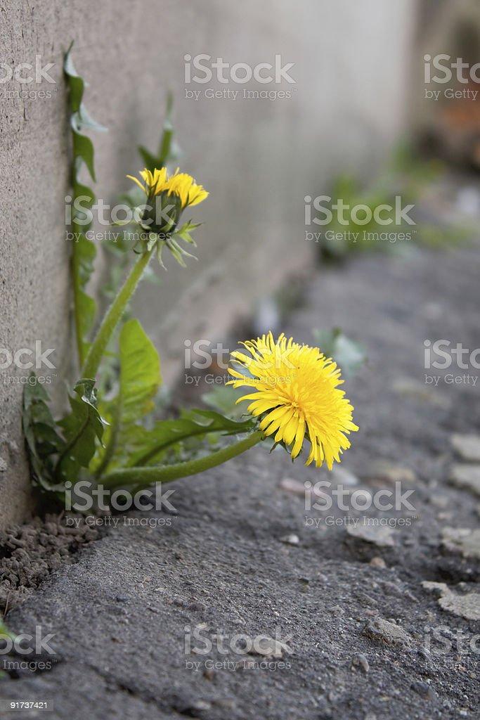 Dandelion in city royalty-free stock photo