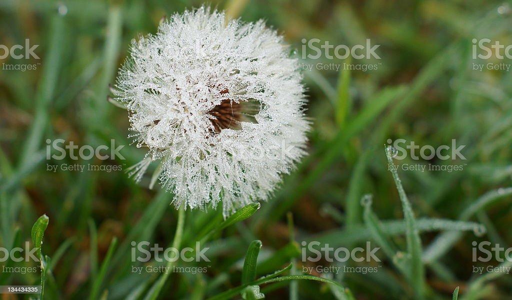 Dandelion in early morning stock photo