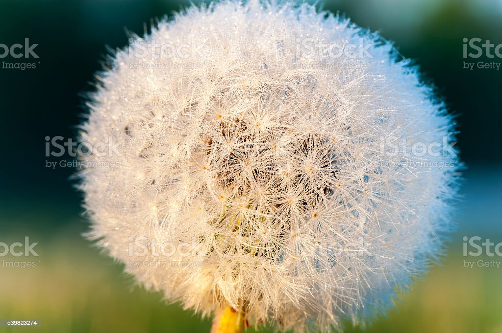 Dandelion in early morning rays of sunlight. Outdoors closeup. stock photo