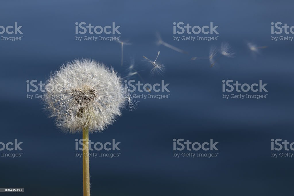 Dandelion in front of water stock photo