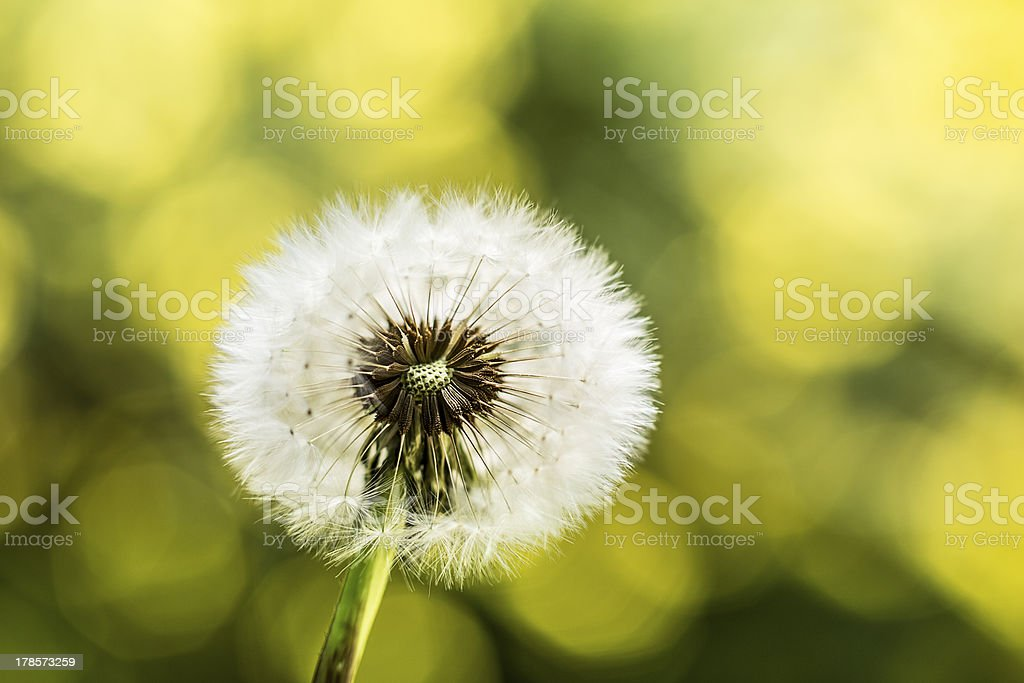 Dandelion in front of yellow flowers royalty-free stock photo