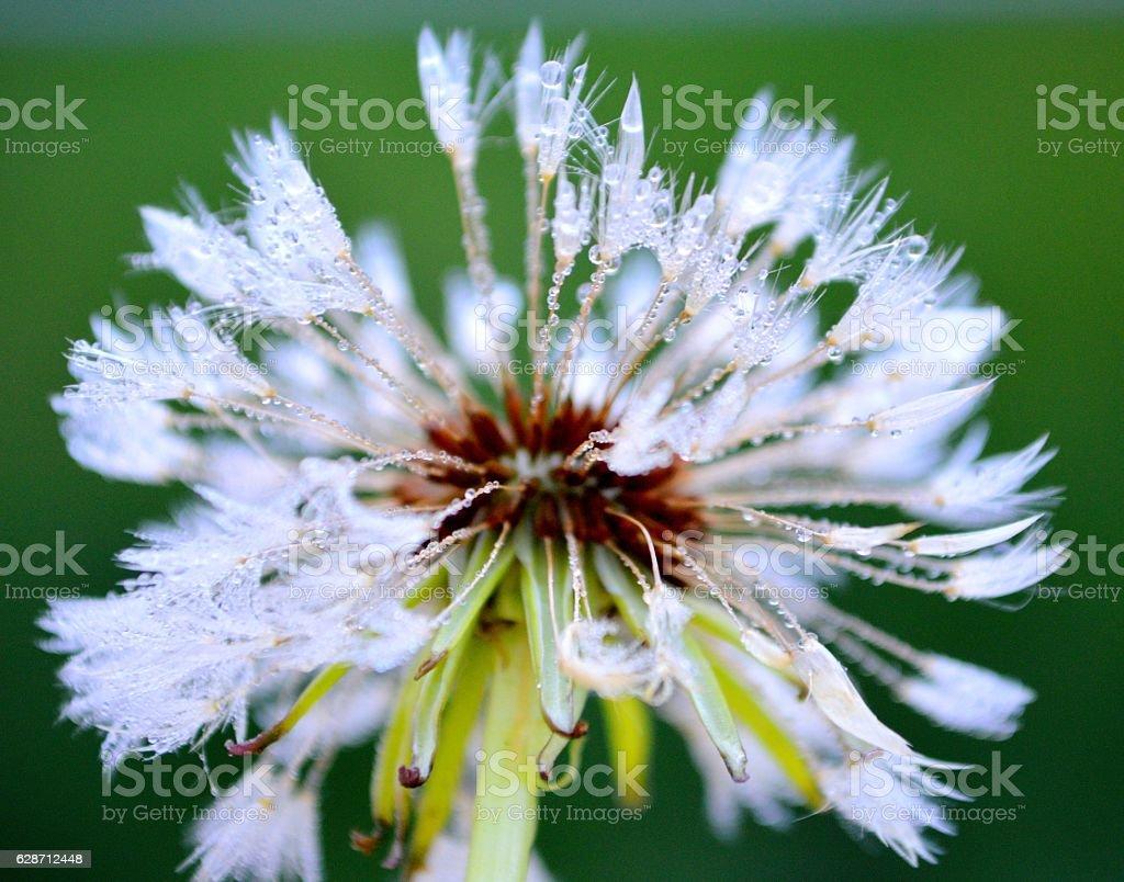 Dandelion in Morning Dew stock photo