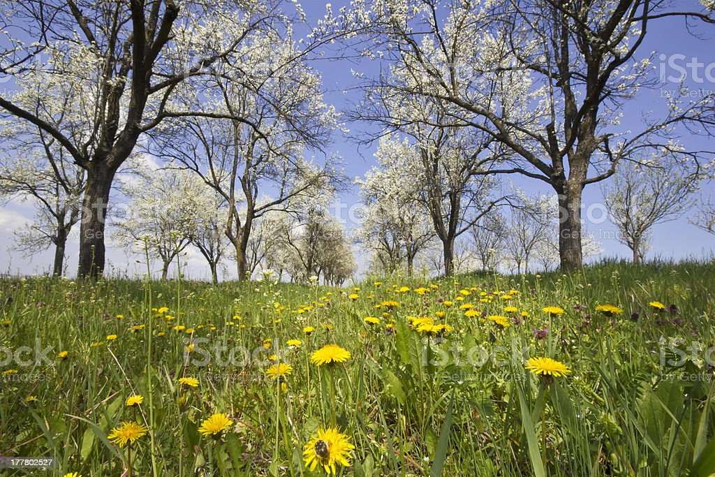 dandelion in orchard royalty-free stock photo