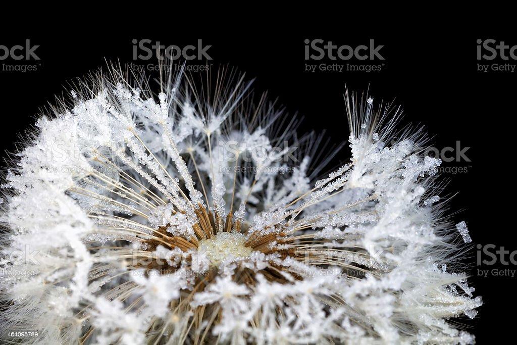 dandelion in rime. stock photo