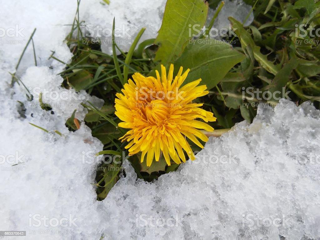 Dandelion in snow stock photo
