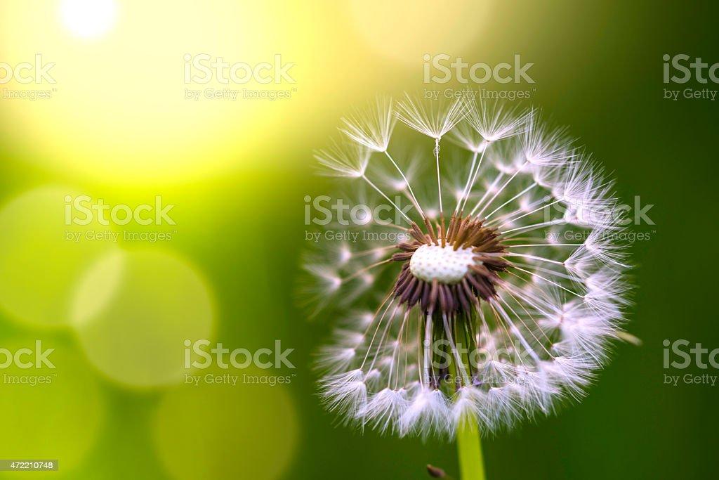 Dandelion in spring stock photo
