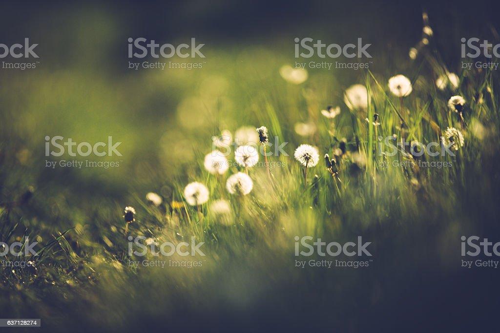 Dandelion in summer on a green meadow stock photo