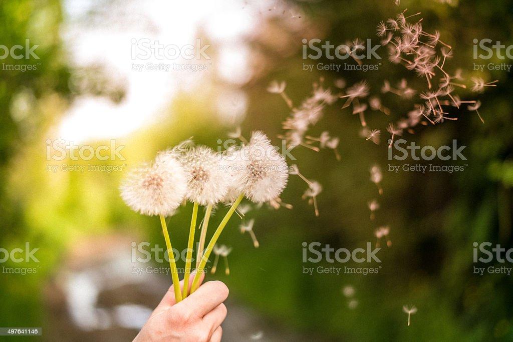 Dandelion in sunlit field stock photo