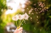 Dandelion in sunlit field