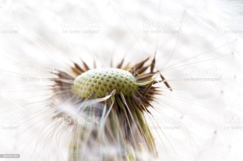 Dandelion in the garden. Close up. stock photo