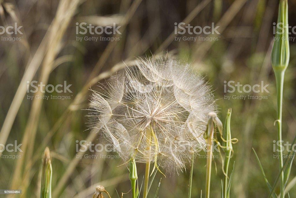 dandelion in the sun stock photo