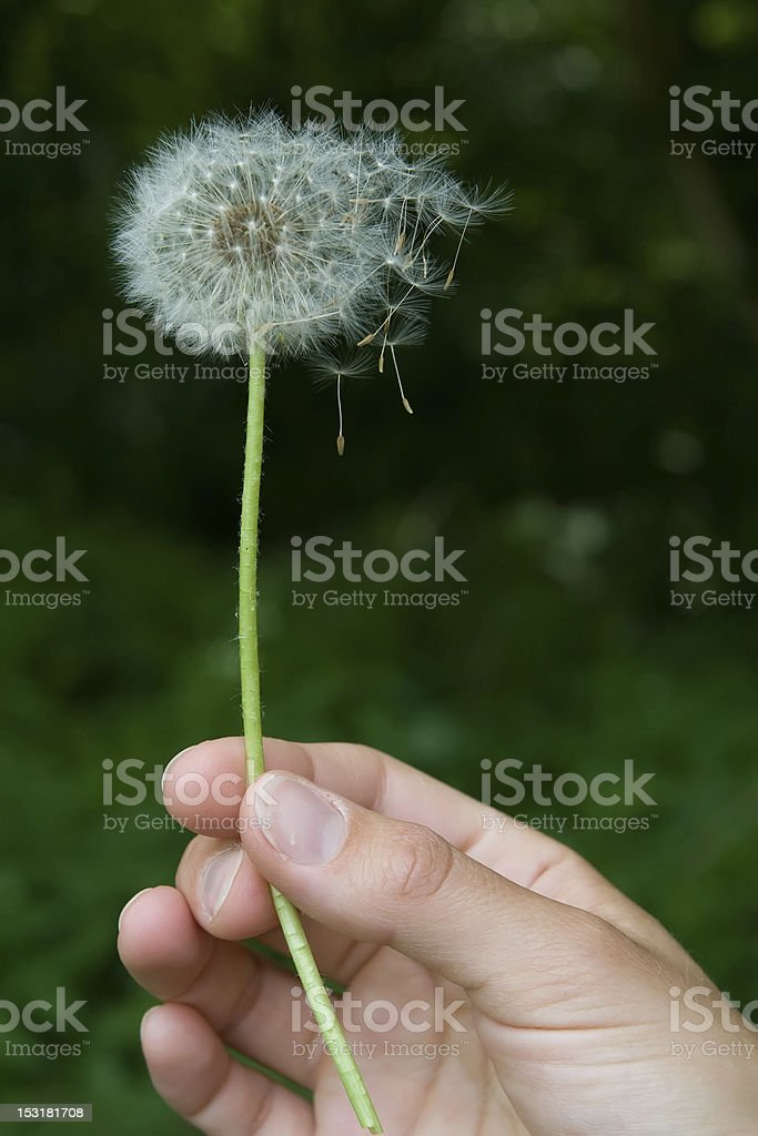 Dandelion in the wind royalty-free stock photo