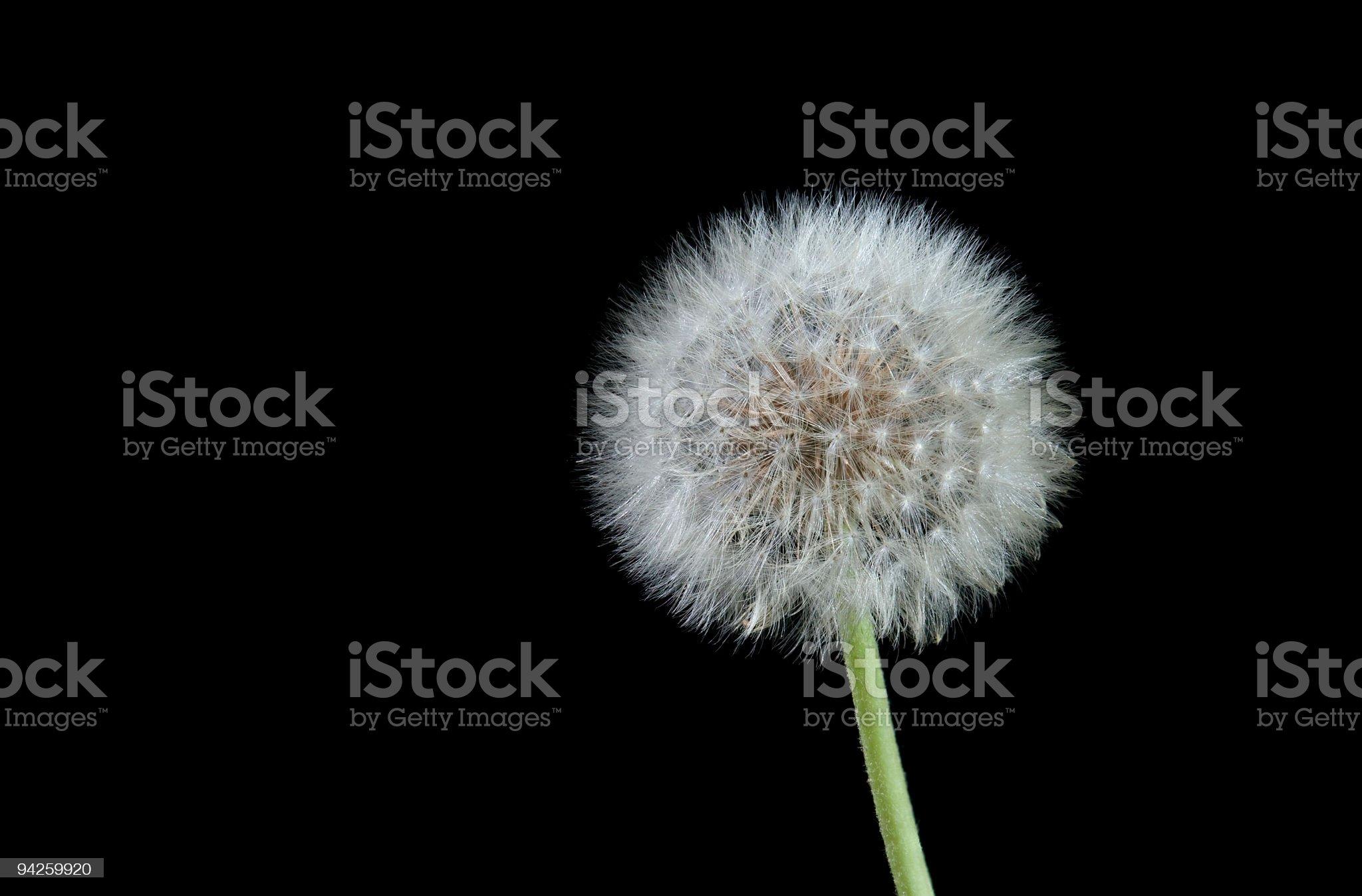 Dandelion isolated on black royalty-free stock photo