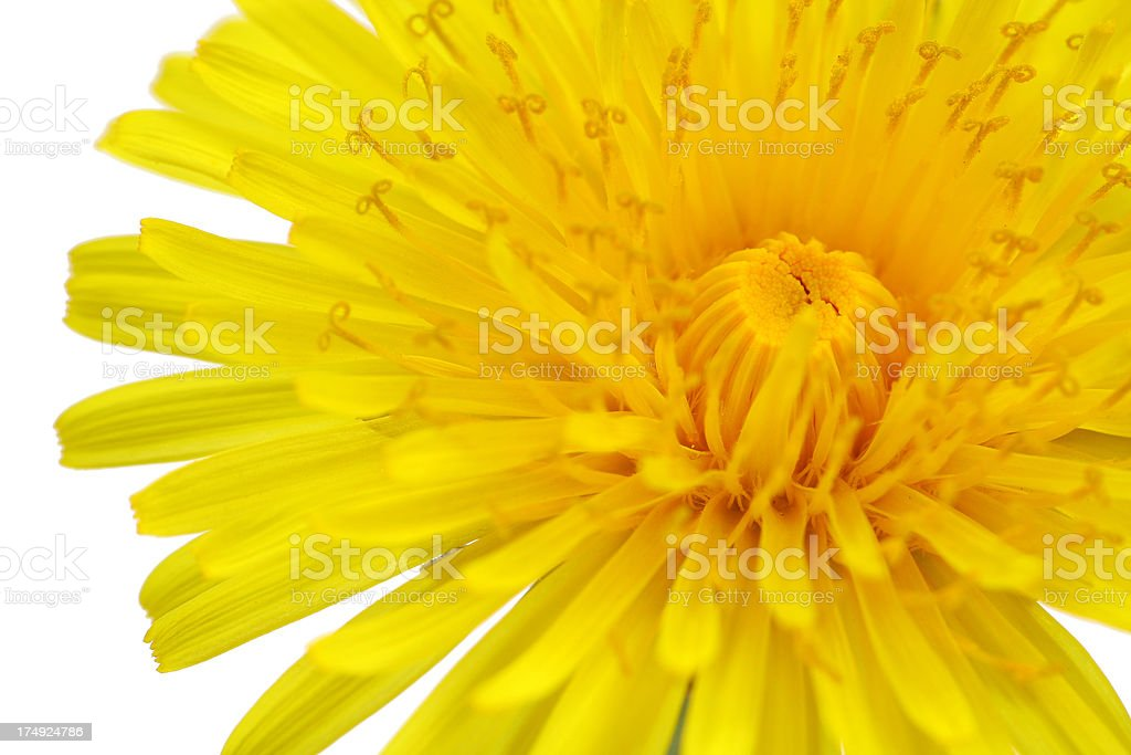 Dandelion Isolated on White - Close up royalty-free stock photo
