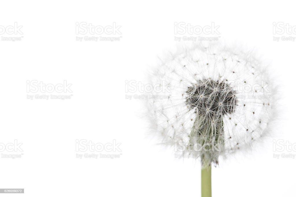 Dandelion isolated on white stock photo