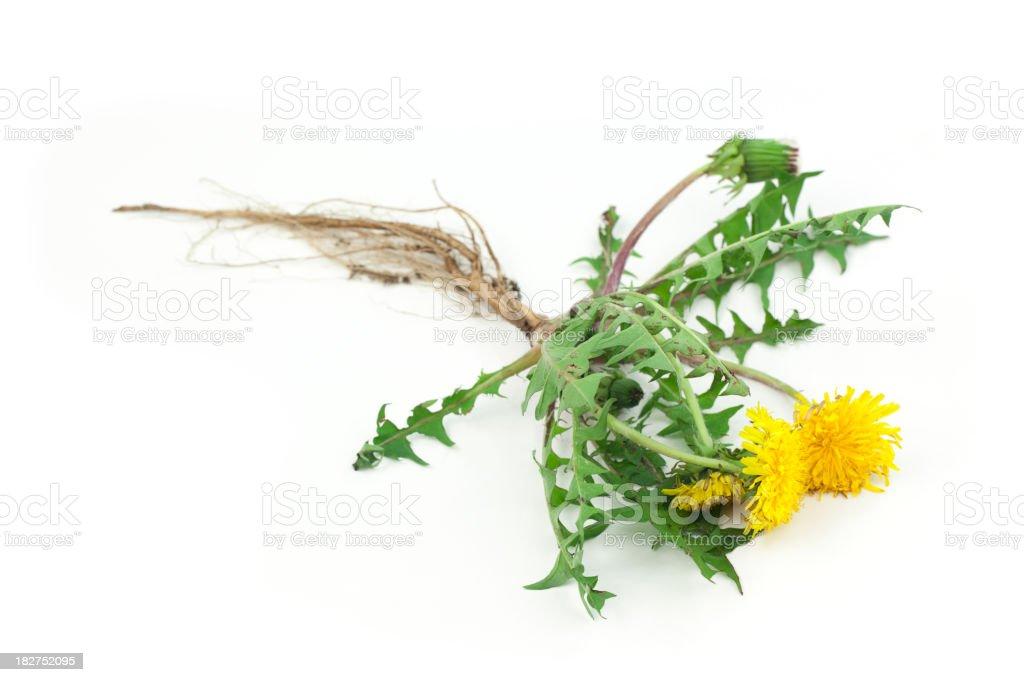 Dandelion Isolated royalty-free stock photo