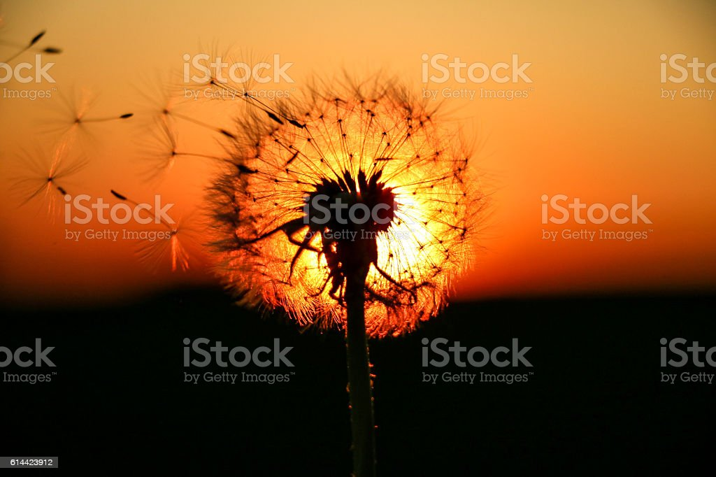 Dandelion lightened by the sunset stock photo