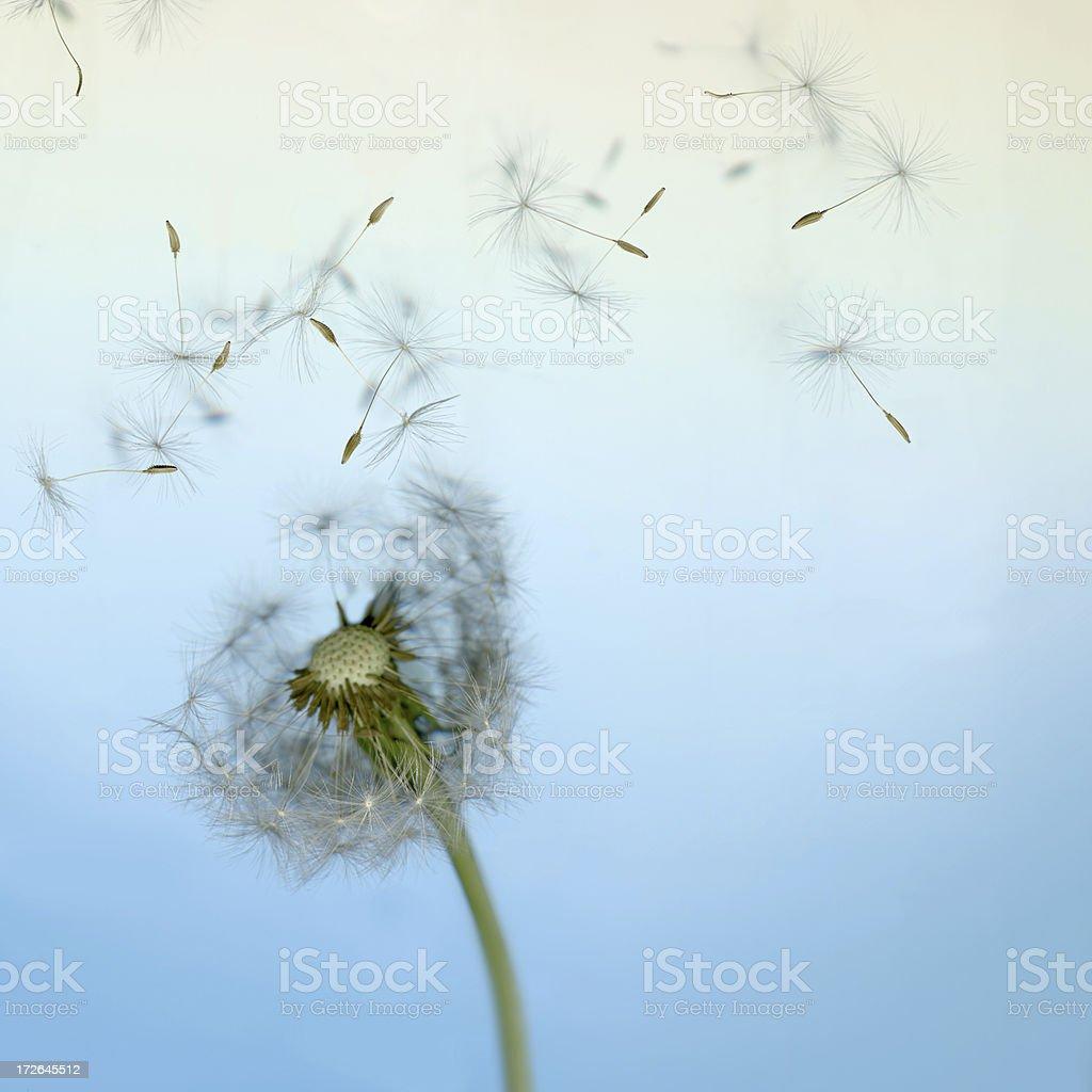 Dandelion Loosing Seeds in the Wind stock photo