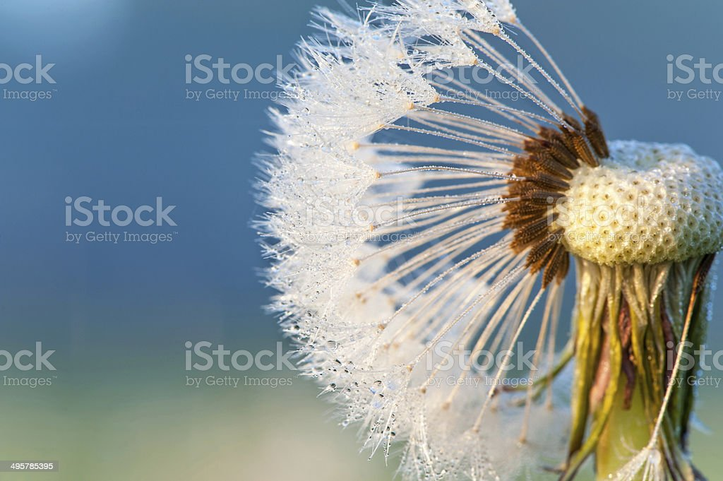 Dandelion loosing seeds with rays of sunlight. Outdoors closeup. stock photo